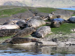 Seals at Loch Coruisk